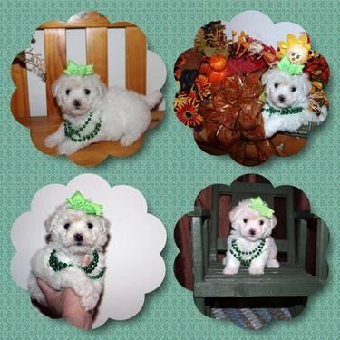 AKC Bichon Frise puppies champion bloodlines for Sale in