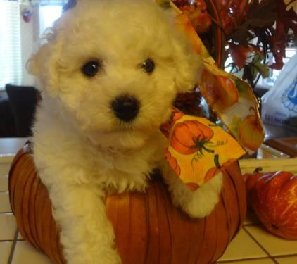 AKC BICHON FRISE PUPPIES CHAMPION SIRED AND CH BLOODLINES-12 WEEKS OLD
