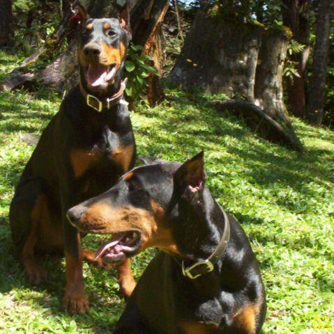 AKC Big & Bold Dobermans, Baby's due July 1st