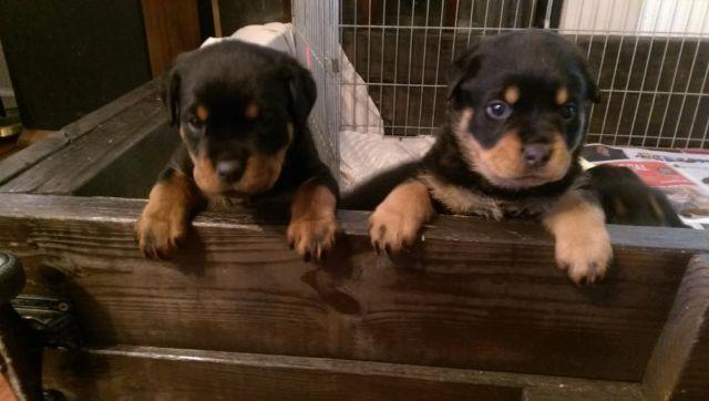 Rottweiler Puppies For Sale In California Classifieds Buy And Sell