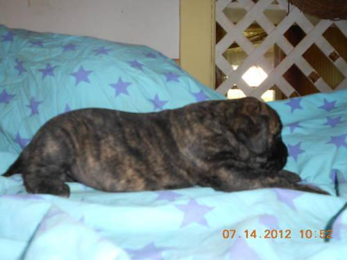AKC Bindle English Mastiff Female Puppies