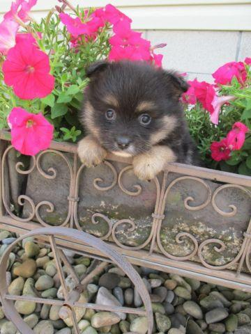 AKC Black and Tan female Pomeranian puppy