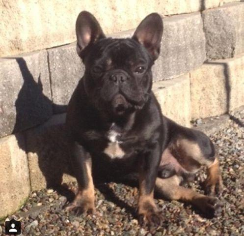 AKC BLACK AND TAN FRENCH BULLDOG for Sale in Fresno ...
