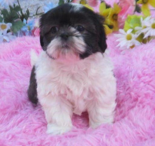 Shih tzu black and white female puppy