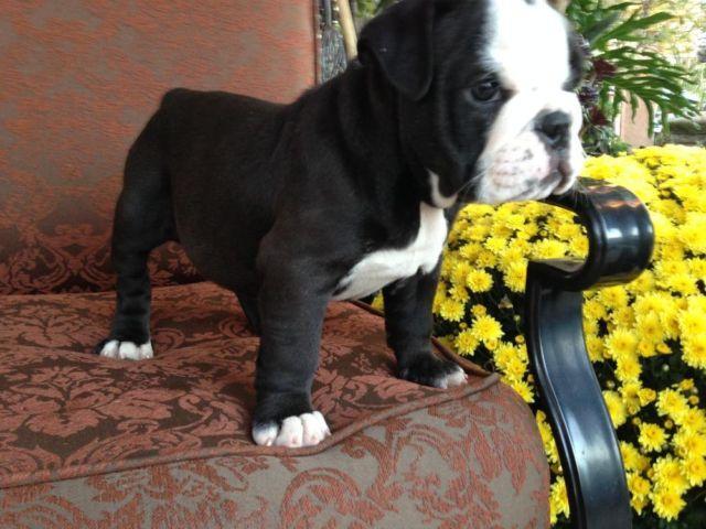 Aninimal Book: AKC Black Bronze Seal English Bulldog for Sale in Los ...