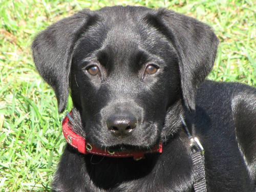 Hunting Labs Michigan Akc Black Cream Hunting Lab