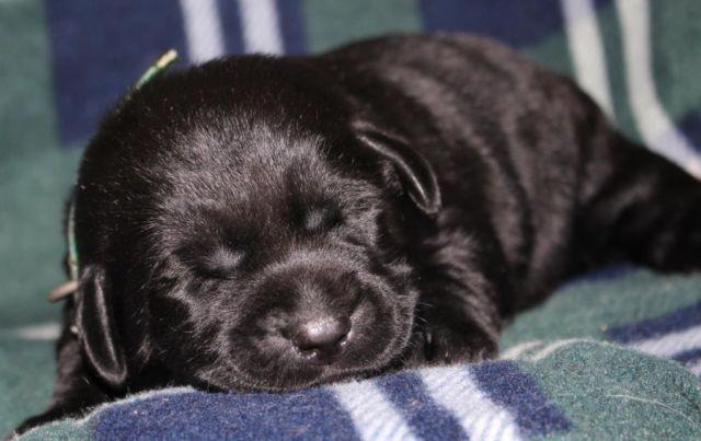 Akc Black English Labrador Retriever Puppies For Sale In Allendale