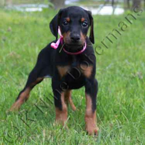 Akc Black Female Doberman Puppy For Sale W Pink Ribbon Vwd Clear