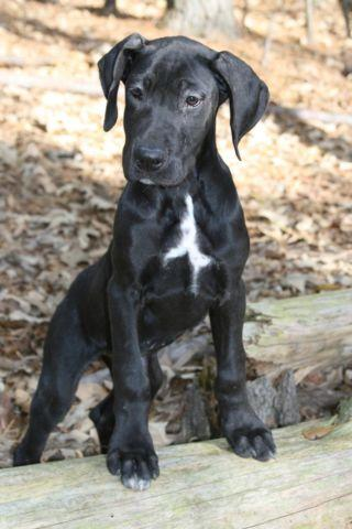 AKC Black Female Great Dane Puppy for Sale in Huntsville ...
