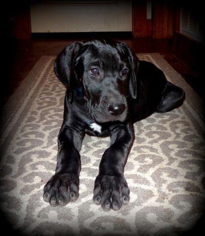 AKC Black Great Dane Puppy for Sale in Glen Rose, Texas ...