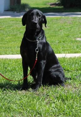 AKC Black Lab - full registration
