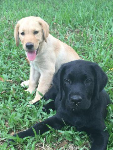 black lab blockhead puppies for sale in Florida Classifieds & Buy and Sell in Florida - Americanlisted
