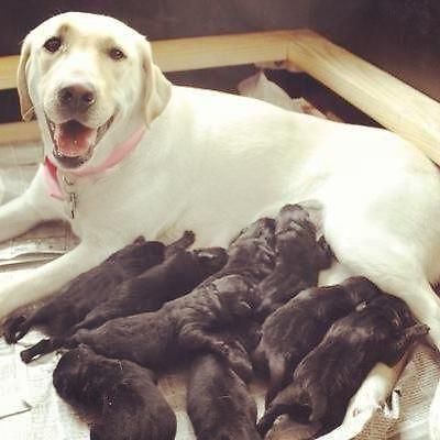 Labrador Puppies 5 Days Old Akc Black Labrador Puppies 5