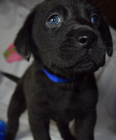 The gallery for --> Black Lab Puppies With Blue Eyes