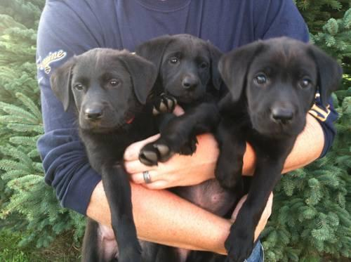 AKC BLACK LABRADOR RETRIEVER PUPS - 8 Weeks old,