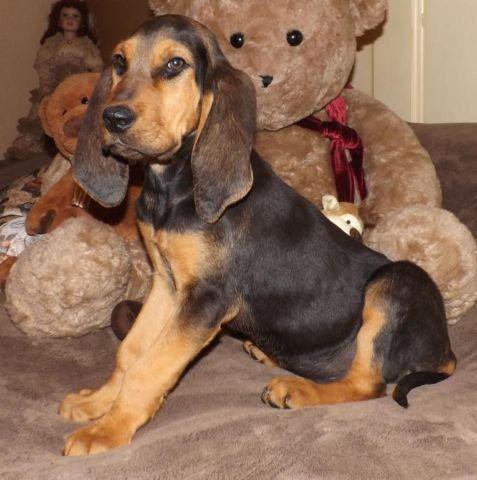 Akc Black Tan Bloodhound Puppy For Sale 12 Weeks Old For