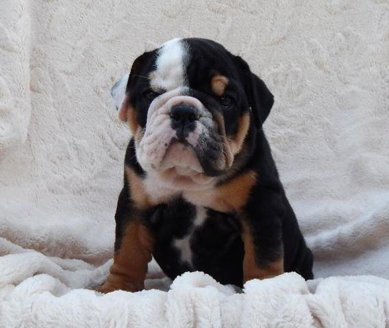 Akc Black Tan Tri English Bulldog Female Puppy For Sale In