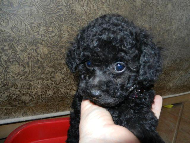 AKC Black Tiny Female Teacup/Toy Poodle-9 Weeks old