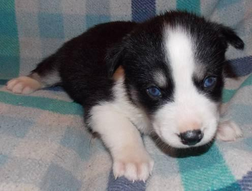 Siberian Husky With Blue Eyes For Adoption Classifieds Buy Sell