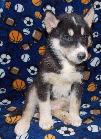 AKC Black & White Male Siberian Husky Brown Eyes Ready 5 ...