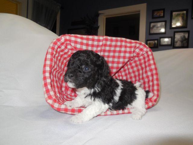 AKC Black/White Parti Teacup/Tiny Toy Poodle - Gorgeous!!!