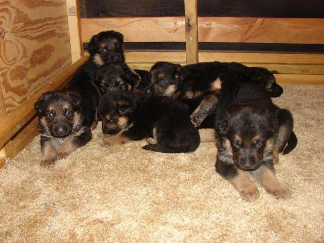 Akc Blkred German Shepherd Puppies For Sale In Guntersville