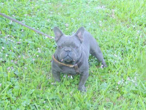 akc blue adult male french bulldog  sale  miami florida classified americanlistedcom