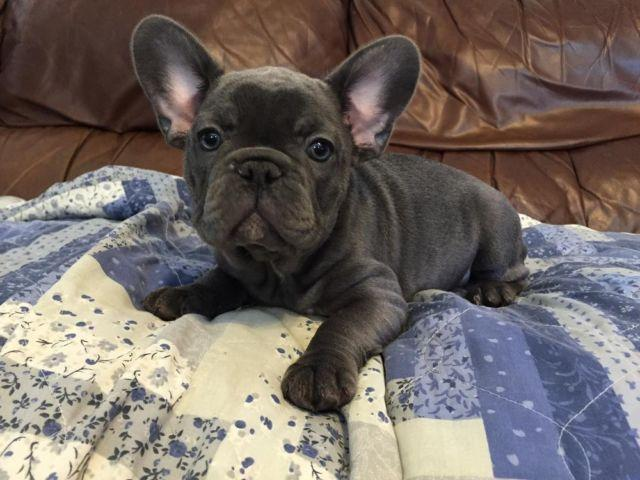 Akc Blue And Blue Fawn French Bulldog Puppies For Sale In Beaumont