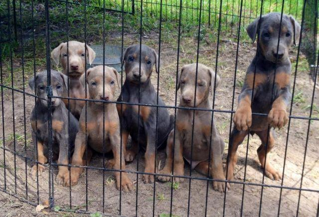 AKC Blue and Fawn Doberman pups