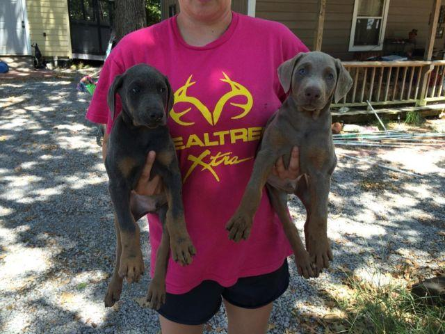 AKC Blue and Fawn1/2 Euro Doberman for sale!!