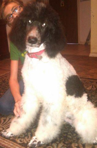 akc blue and white parti poodle male. 5 mos old