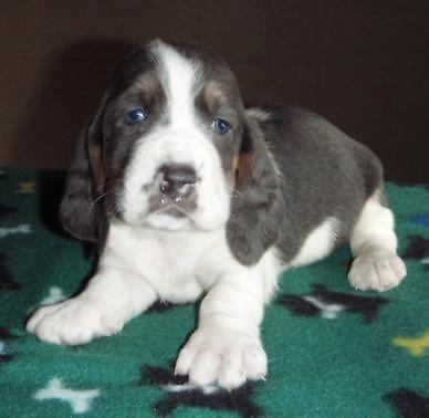 akc blue basset hound puppy ready feb 13th for sale