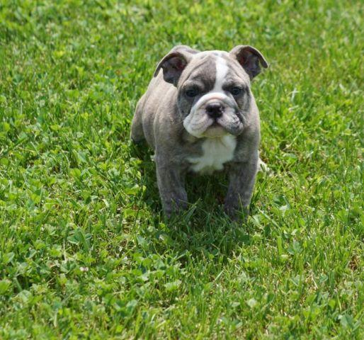 Akc Blue English Bulldog Female For Sale In Corbin Kentucky