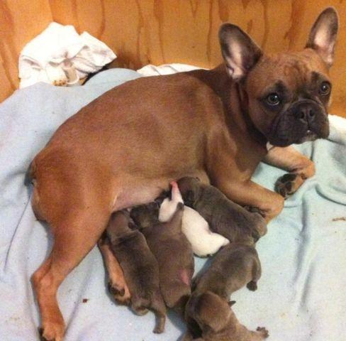 Akc Blue Fawn French Bulldog Pups For Sale In Portland Oregon