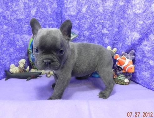 AKC BLUE FRENCH BULL DOG PUPPIES DOB 6/21/12 for sale in Nashville