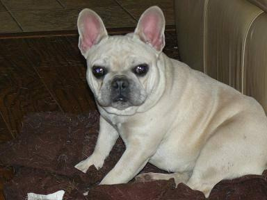 akc blue french bulldog female 2years old sweet girl