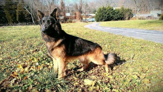 A Look at the Black German Shepherd A Cut Above The Rest