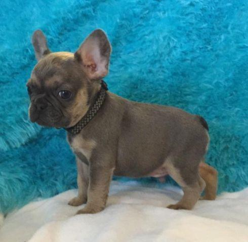 akc blue sable french bulldog puppy for sale in beaumont