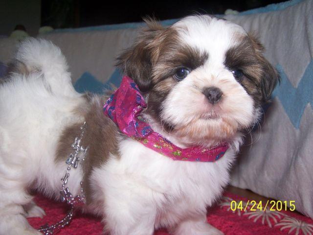 AKC Blue Shih Tzu Female Puppies for Sale in Sanford ...
