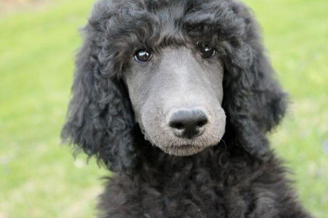 AKC Blue Standard Poodle Puppy Male for Sale in Coalport ...