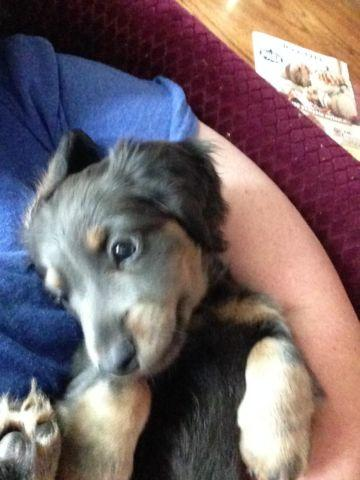 AKC blue/tan miniature dachshund