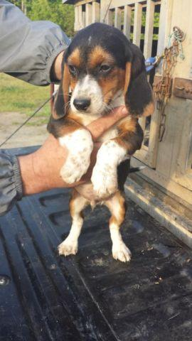 Akc Blue Tick Beagle Puppies For Sale In Wilsons Virginia