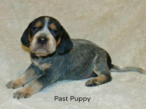 AKC Bluetick Beagle Puppies for sale
