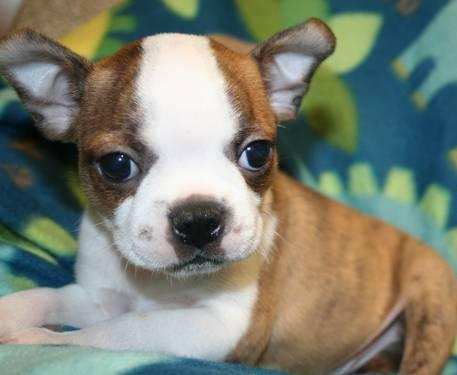 boston terrier puppies for sale oregon akc boston terrier brindle puppies for sale in oregon city 4161