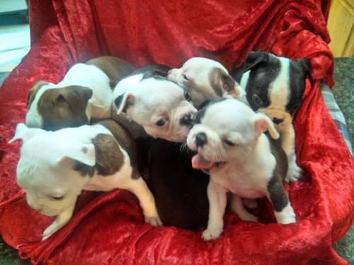 AKC Boston Terrier Kennel Reduction