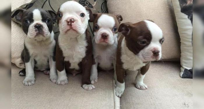 AKC Boston Terrier puppies for Sale in Laurel, Maryland Classified