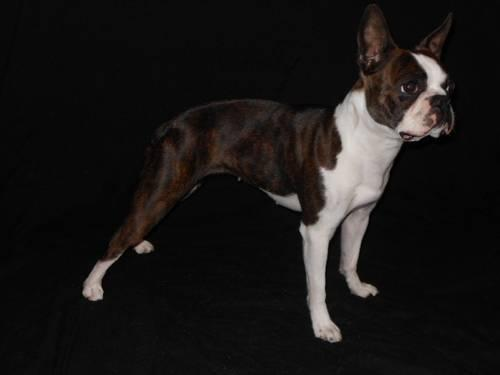 boston terrier puppies for sale oregon akc boston terrier puppies for sale in portland oregon 2579