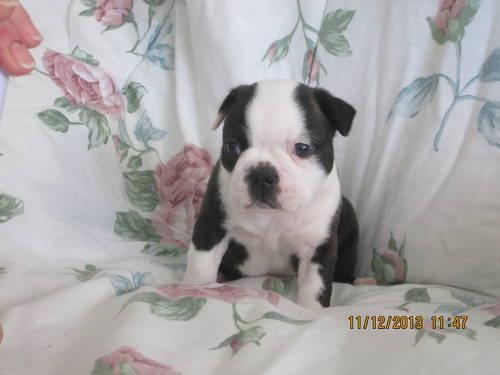 boston terrier breeders wi akc boston terrier puppies for sale in janesville 2255