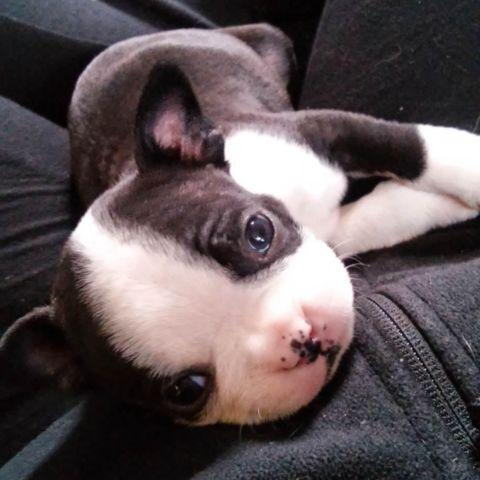 Boston Terrier Puppies For Sale In Michigan Classifieds Buy And