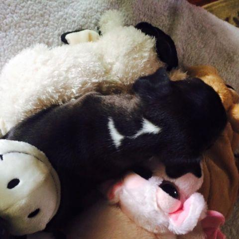 boston terrier puppies for sale oregon akc boston terrier puppies for sale in silverton oregon 548